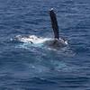 Humpback Whale flipper-slapping