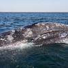 Curious Grey Whale calf