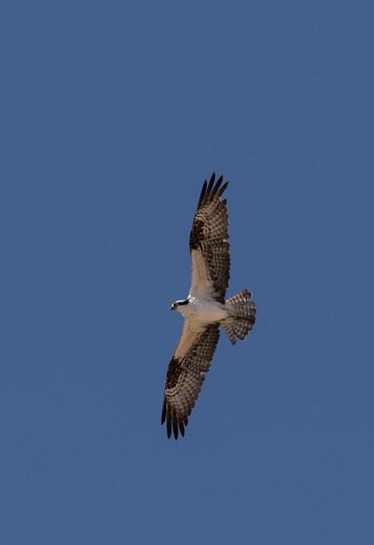 Osprey at Punta Colorada