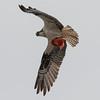 Osprey carrying a Garibaldi fish to its nest on Isla San Benitos
