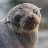Guadalupe Fur Seal on Isla San Benitos