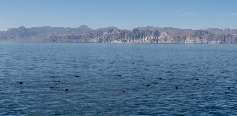 Logging Short-finned Pilot Whales