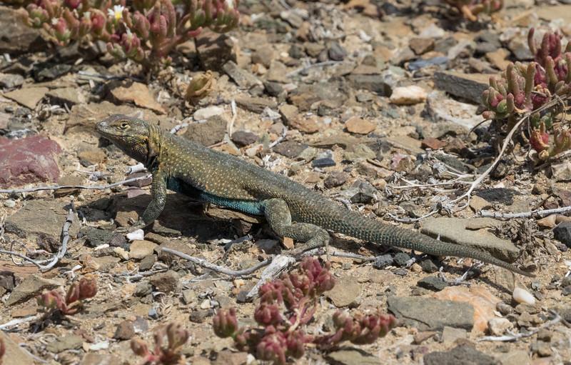 Side-blotched Lizard on Isla San Benitos