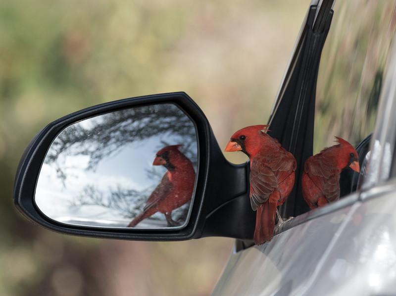Cardinal at Los Frailes