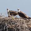 Ospreys and chick on Isla San Benitos