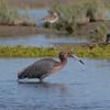 Reddish Egret in San Ignacio Lagoon