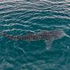 Whale Shark near La Paz