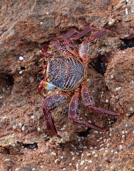 Sally Lightfoot crab at Los Islotes