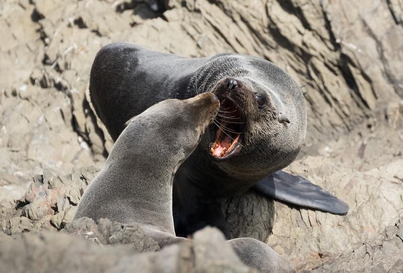 Guadalupe Fur Seals on Isla San Benitos