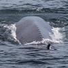 Blue Whale backbone