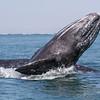 Grey Whale calf breaching