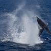Humpback Whale tail lobbing
