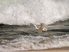 Egret Taking Off between Waves and Surf