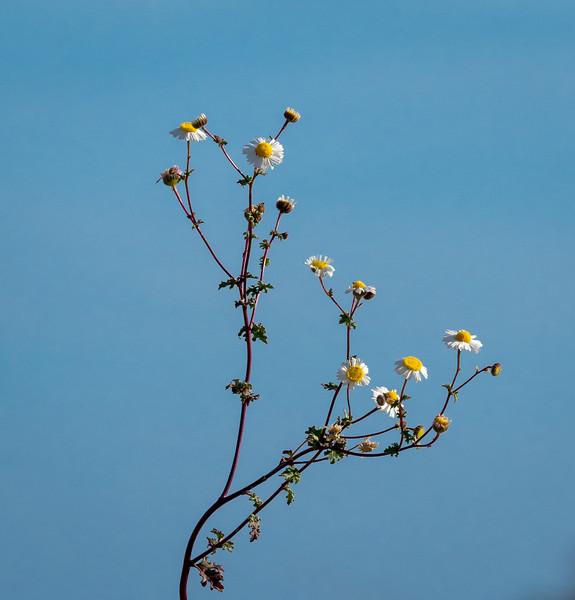 Daisy Flowering in the Desert