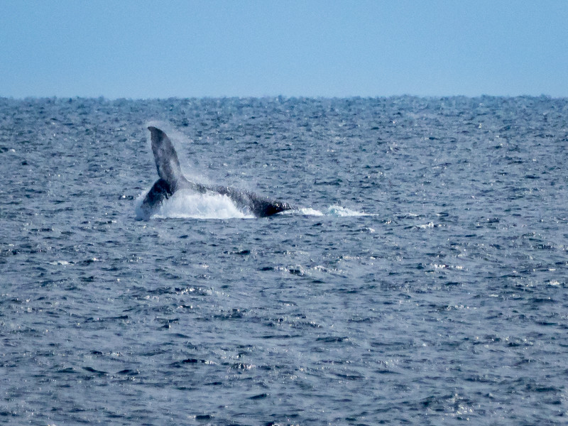 Humpback Whale Breaching a Mile Offshore