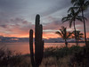 Cacti and Palms Overlooking Sea of Cortez at Sunrise