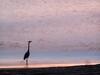 Heron Fishing in the Early Morning