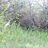 When I tried to get closer, he walked in among the sagebrush. He is pretty well hidden. If I had not seen him enter, I would have walked right past and never know he was there.