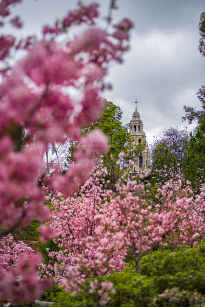 """Cherry Blossoms & The Tower"" - Balboa Park Landscape Photography"