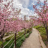 """Cherry Blossoms In Bloom"" - Balboa Park Landscape Photography"