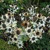 Eryngium; giganteum