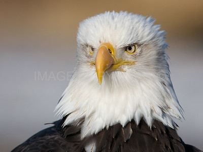 Bald Eagle Portrait 2