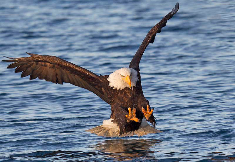 Bald Eagle About to Strike Fish
