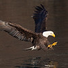 Bald Eagle Adult About to Strike