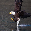 Bald Eagle Adult Dragging Tail