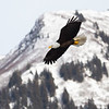 Bald Eagle Adult Flying Across Snow Covered Mountains
