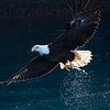 Bald Eagle Adult Fish in Talons Backlit Tail and Water Drops