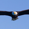 Bald Eagle Adult Flying at Camera, Wings Stretched to Side