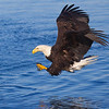 Bald Eagle Adult Coming in for Strike