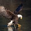 Bald Eagle Adult Angry Strike