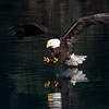 Bald Eagle Adult About to Strike Dramatic Lighting