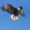 Bald Eagle Adult Hovering