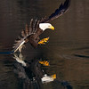 Bald Eagle Adult About to Strike Reflection