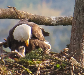 One Week Old Eaglet, April 2014