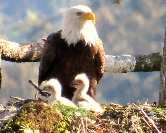 Bald Eagles & Osprey