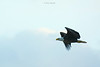 Birds-BaldEagleflight