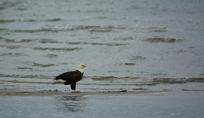 Birds-Eaglesandbar