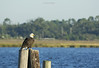 birds-baldeaglebackbay