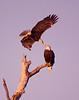 Birds-BaldEagleKiss