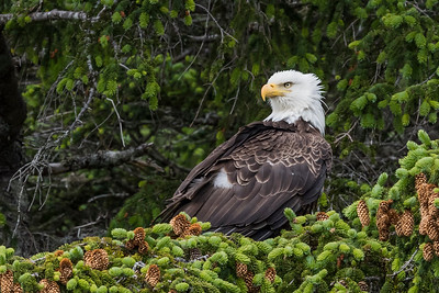 Adult bald eagle relaxing on a pine branch loaded with pine cones. Resurrection Bay Seward, AK USA