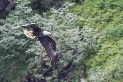 Adult bald eagle in flight. Resurrection Bay Seward, AK USA