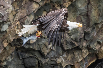 Adult bald eagle in flight with a salmon. Resurrection Bay Seward, AK USA