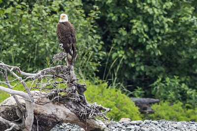 Adult bald eagle relaxing on a dead tree stump. Resurrection Bay Seward, AK USA