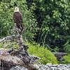 Adult bald eagle relaxing on a dead tree stump. Resurrection Bay Seward, AK USA