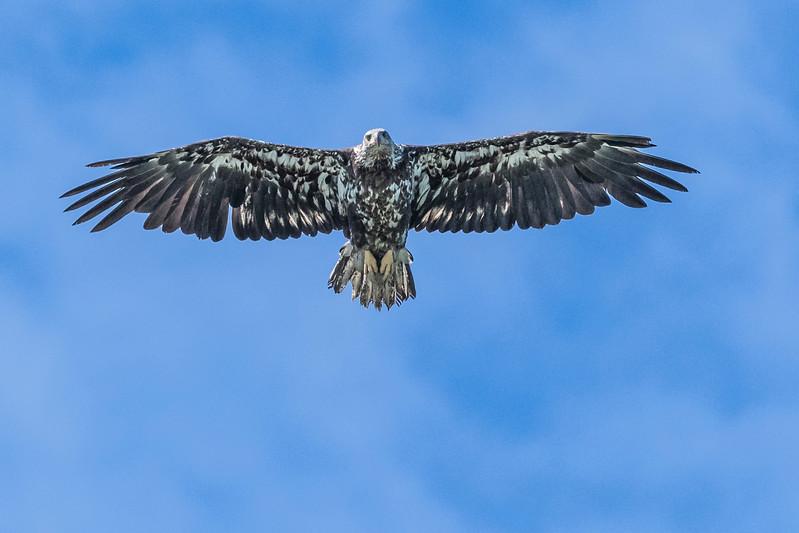 Juvenile bald eagle riding the air currents looking for a meal. Lake Clark National Park Kenai Peninsula, AK USA