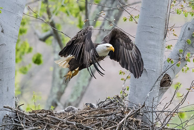 Male bald eagle taking off from the nest. Port Washington, OH USA